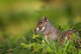 Grey Squirrel With Peanut