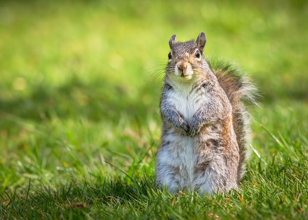 Startled Grey Squirrel by BydoR9
