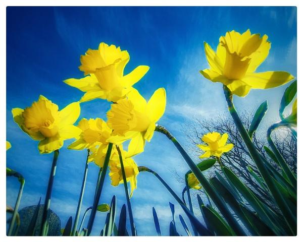 Daffodils by happysnapper