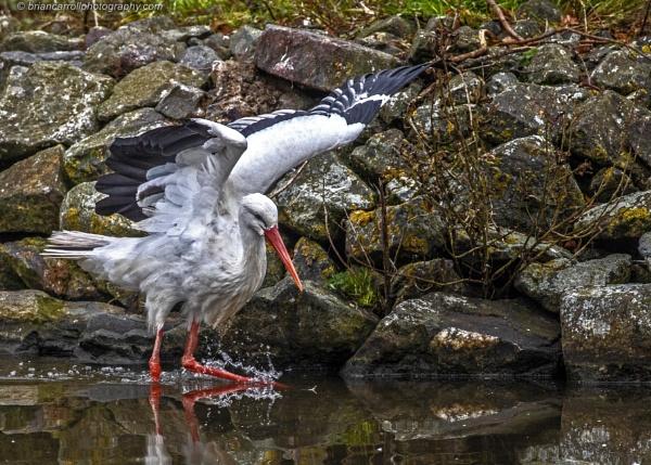 European White Stork  by brian17302