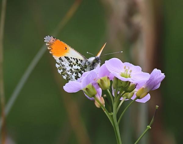 Orange-tip on a cuckoo flower by Steveo28