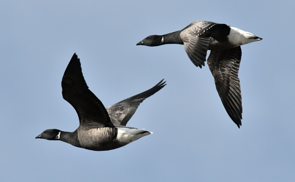 Brent Geese by jander01