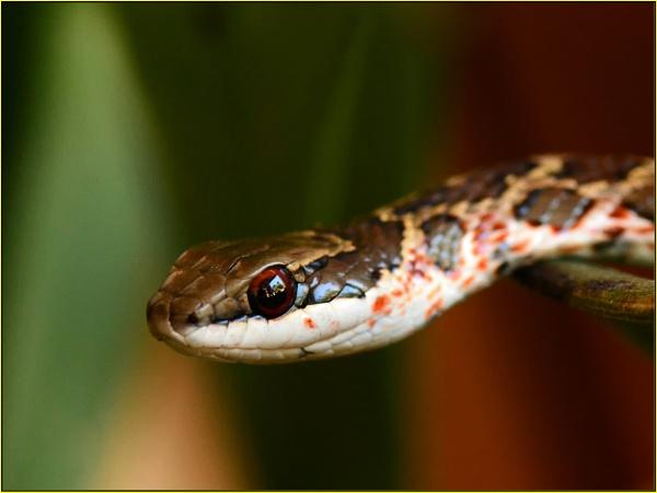 skaapsteker (Psammophylax rhombeatus) by fotobee