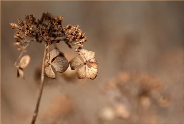Hydrangea Flowers by taggart