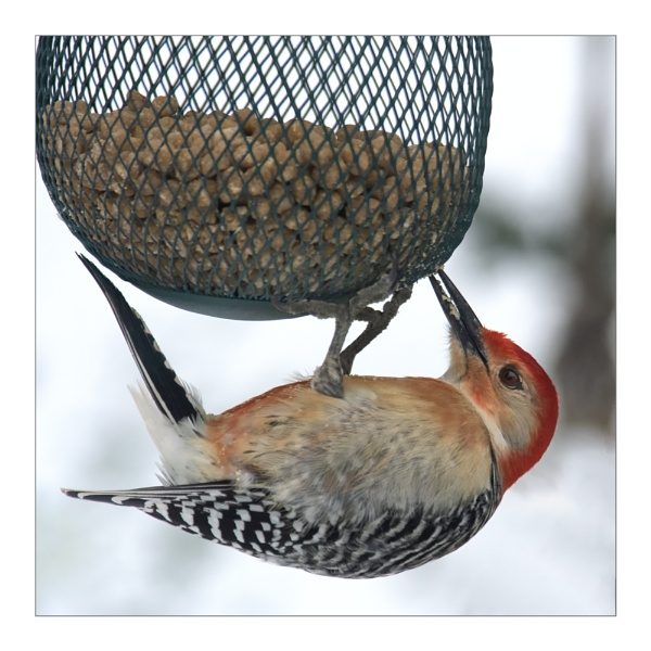Red-bellied Woodpecker by taggart