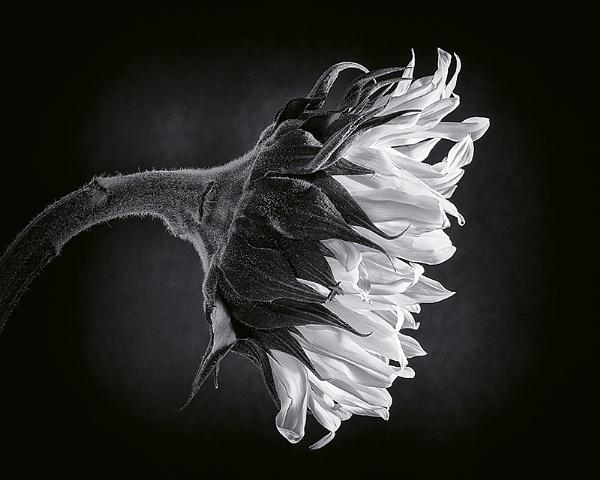 Sunflower by lespaul