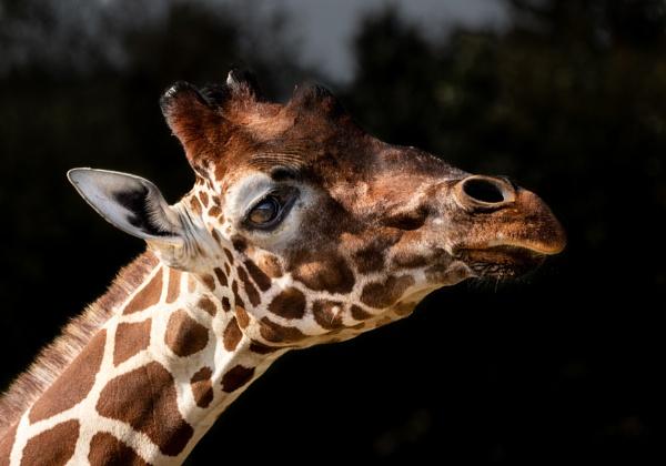 Giraffe by TornadoTys