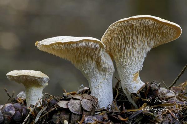 Hedgehog fungus. by cjones