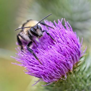 Bee on Thistle.