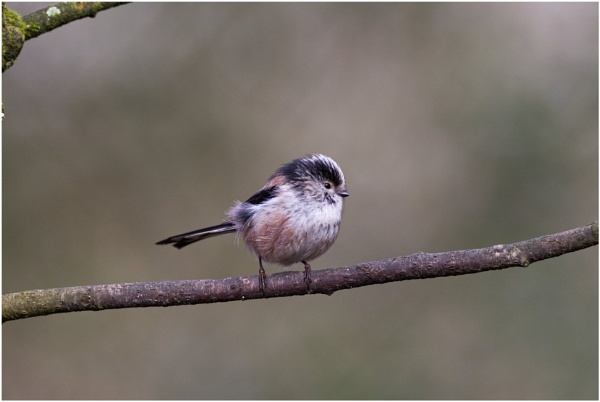 The Long tailed Tit! by Jas2