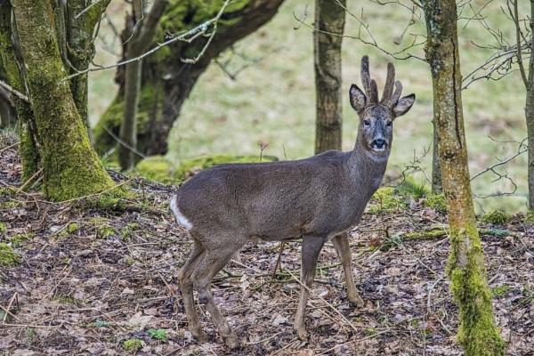 Male Roe Deer by yorkshirepete