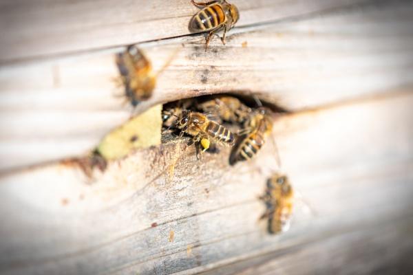 Bees bringing back pollen by lagomorphhunter