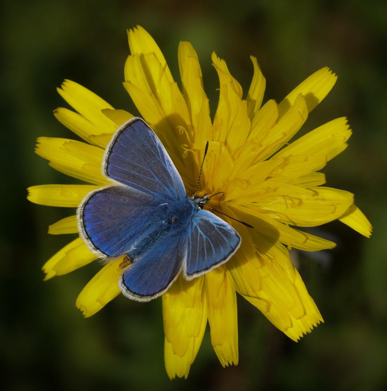 Common Blue on a Dandelion