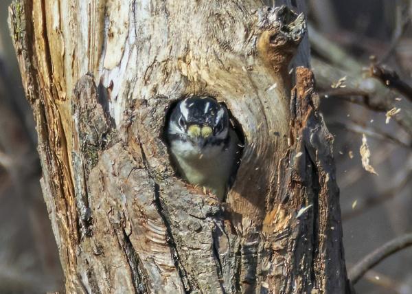 Hairy Woodpecker by TDP43