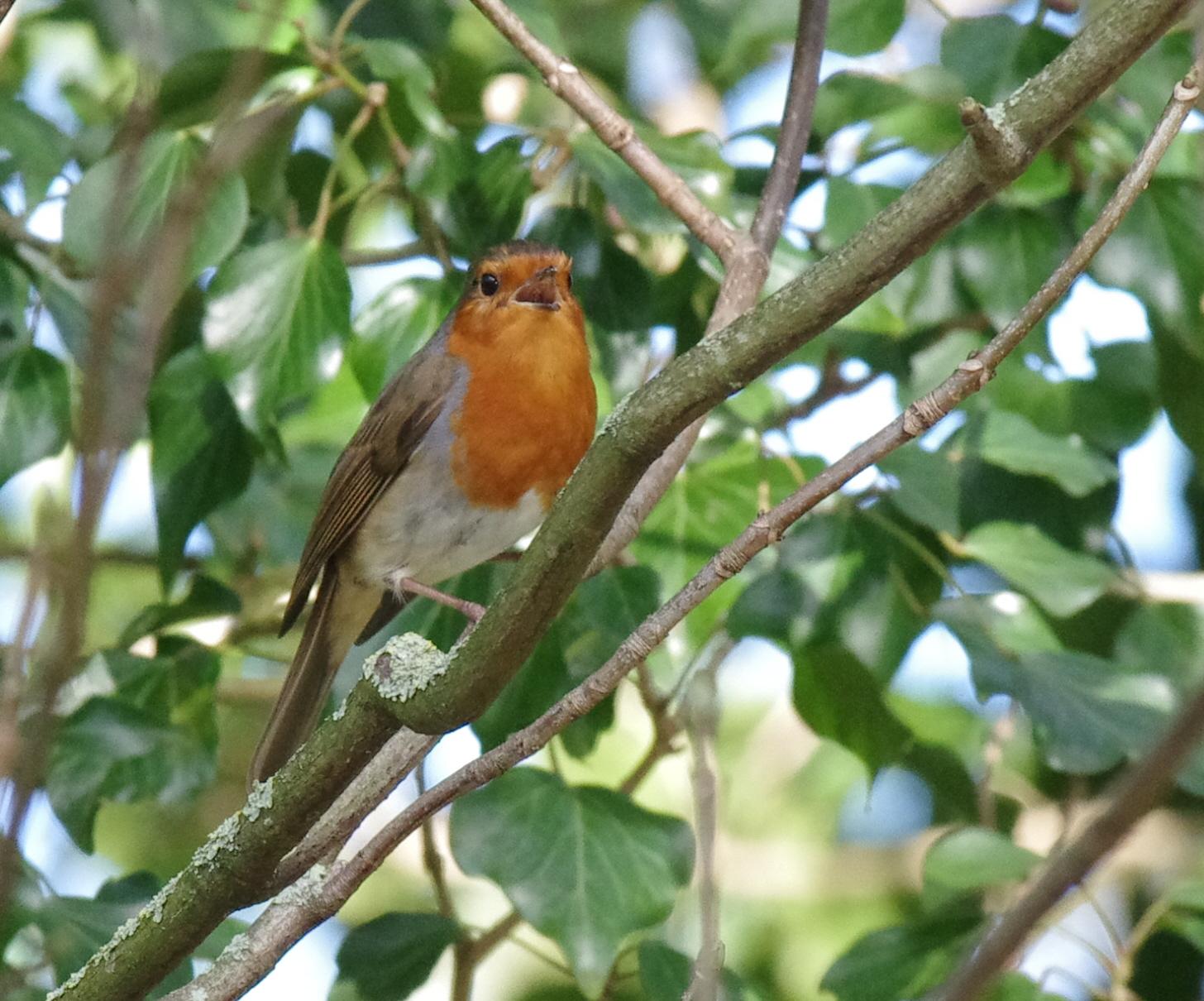 Woodland Robin