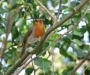 Woodland Robin by Kako at 25/02/2021 - 8:31 PM