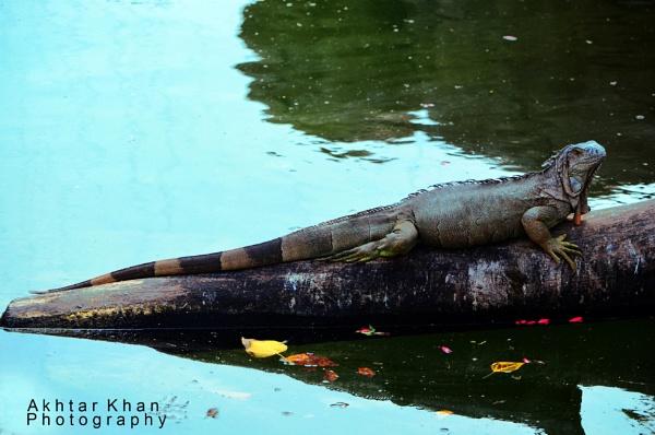 Iguana by akhtarkhan