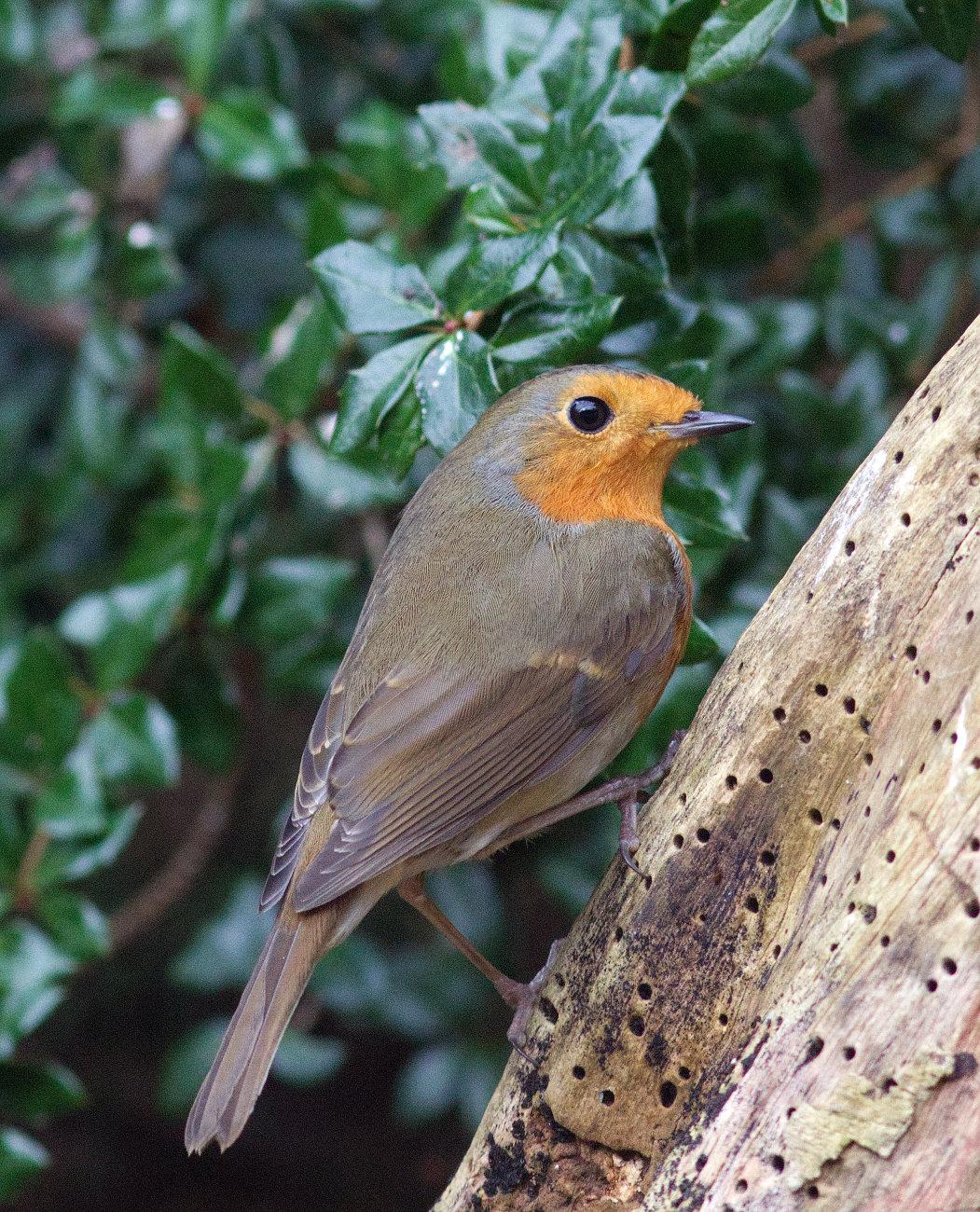 Resident robin