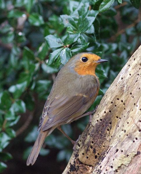Resident robin by oldgreyheron