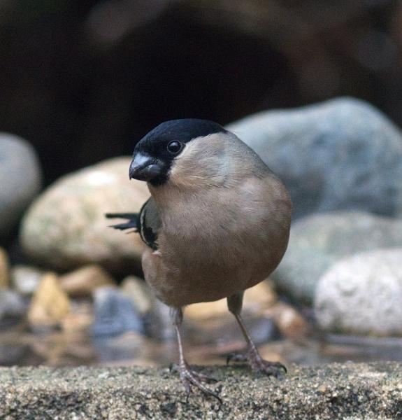 Female bullfinch by oldgreyheron