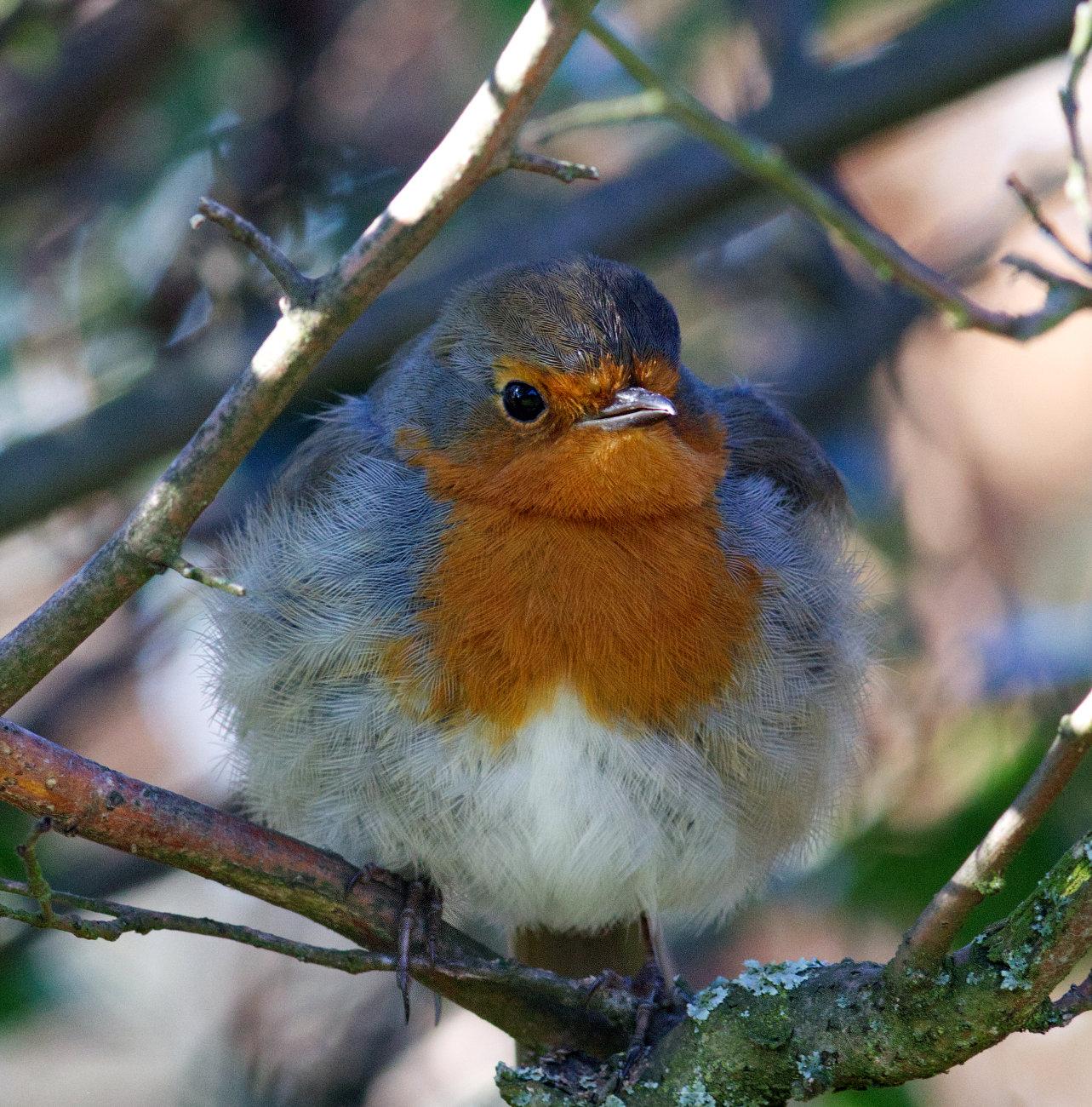 My friendly robin