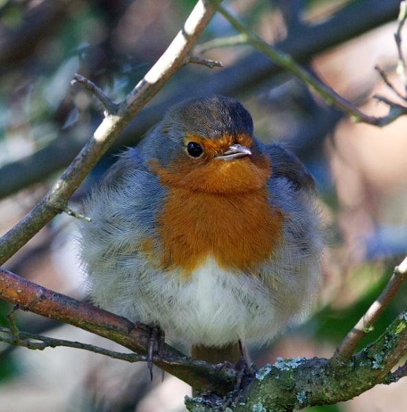 My friendly robin by oldgreyheron