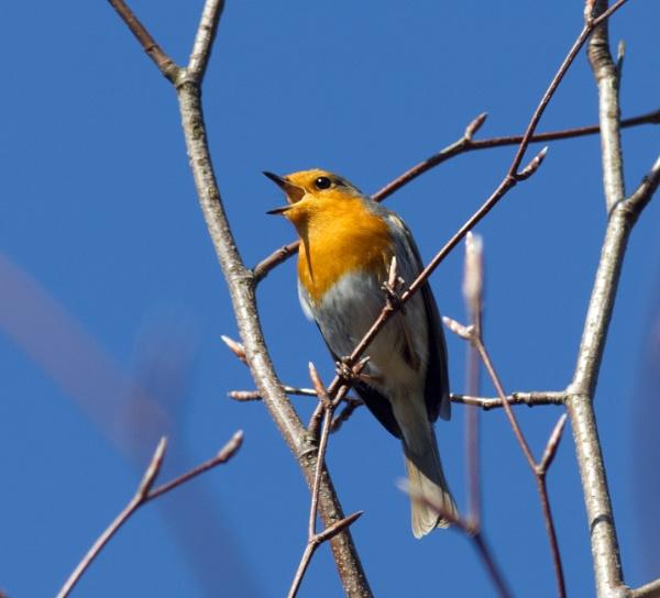 Singing robin by oldgreyheron