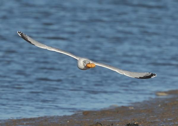 Herring Gull in Flight by NeilSchofield