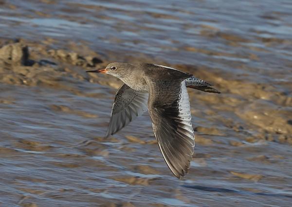Redshank in Flight by NeilSchofield
