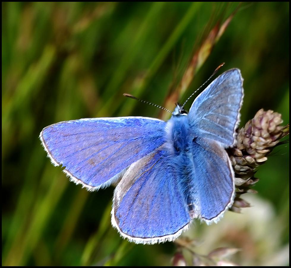 Common Blue Basking ..