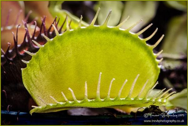 Dionaea Muscipula by TrevBatWCC