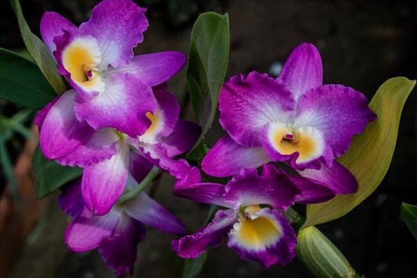 Orchid splendour by rambler