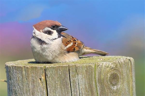 Tree Sparrow by TerryMcK