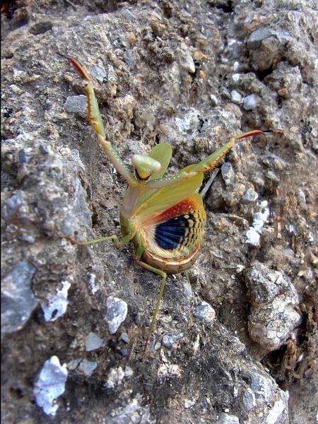 Praying Mantis by TonyDy