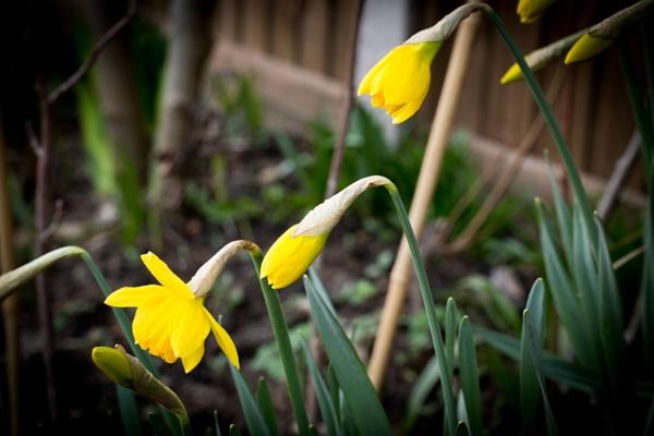 Yellow Daffs by JackAllTog