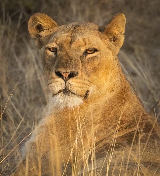 Lioness portrait by esoxlucius