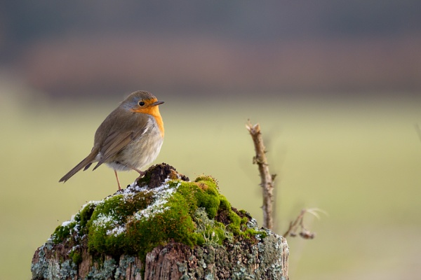 Robin standing on a tree stump covered with moss and some snow f by Phil_Bird