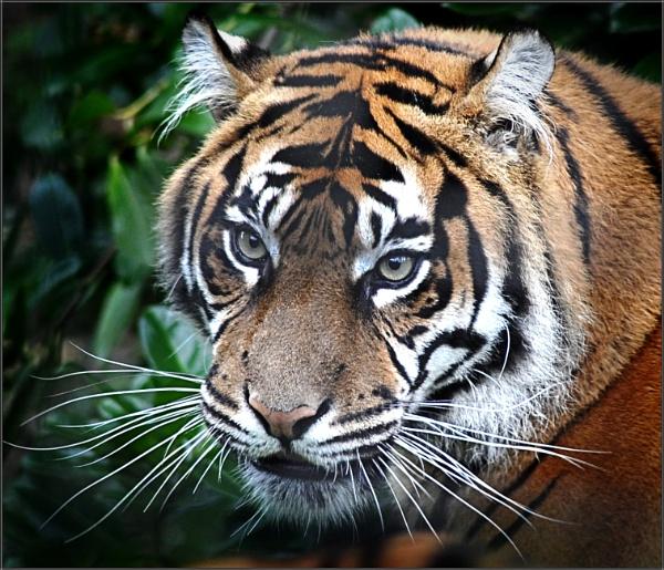 Tiger by PhilT2