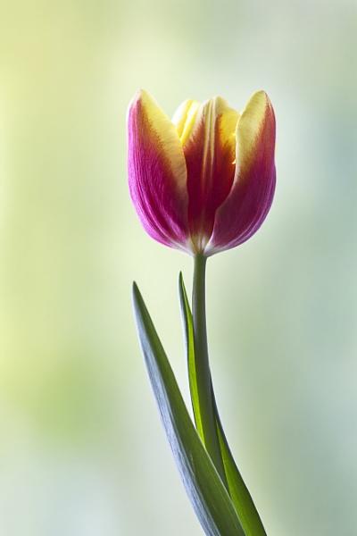 Single Tulip by Irishkate