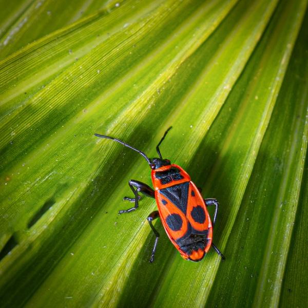 Pyrrhocoris apterus or European Firebug by chavender