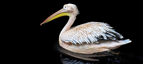 Pelican Crossing by Steinmachine