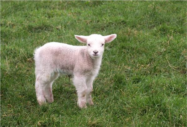 Spring lamb by JuBarney