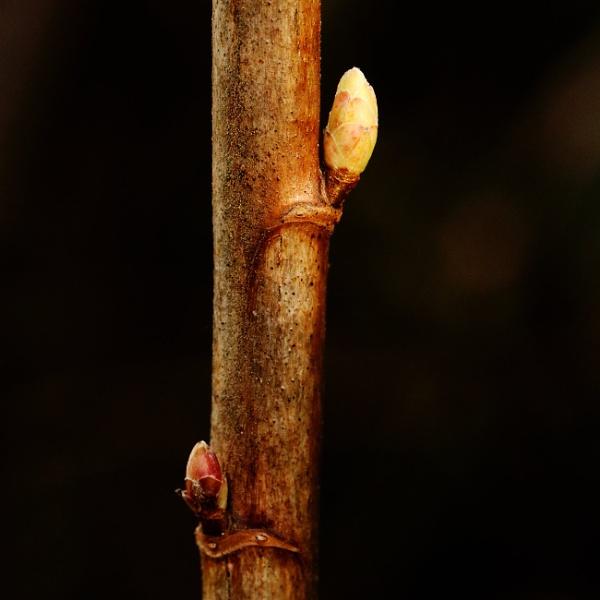 Blackcurrant buds by ardbeg77