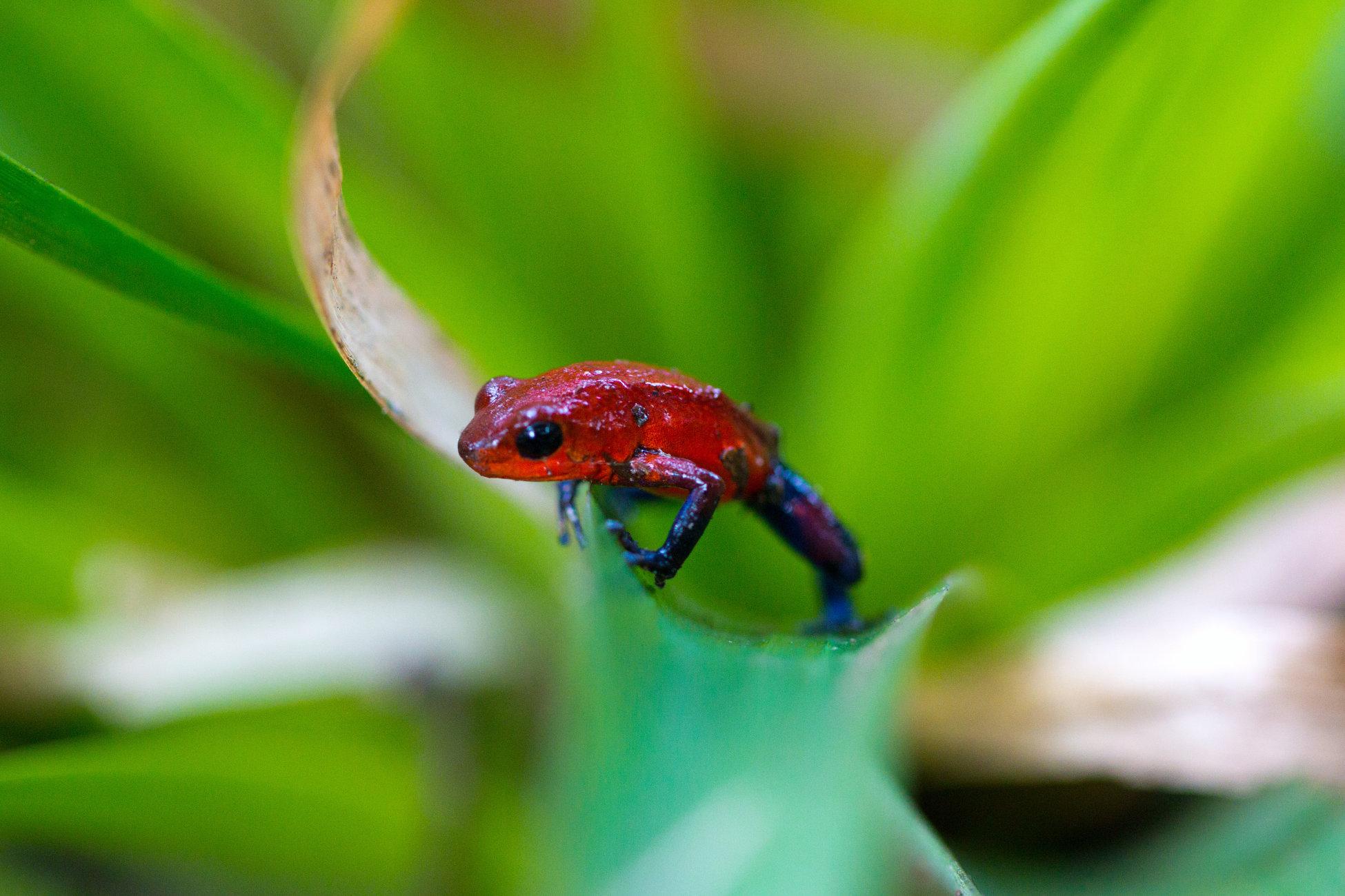 Blue-jeans poison-dart Frog