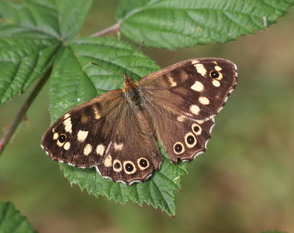 Speckled Wood by Steveo28