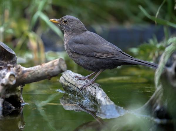 Blackbird. (F) by 10delboy