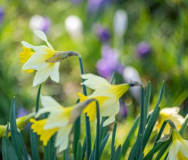 Daffodils by Danny1970