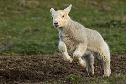 Spring Lambs.