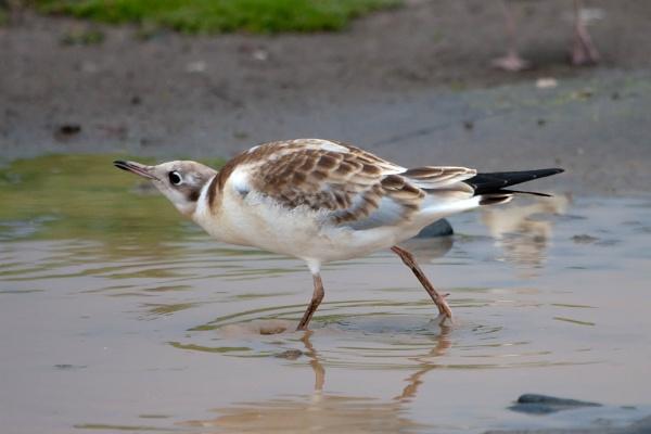 Juvenile Black Headed Gull by nobby1