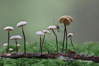 Parachute fungi.